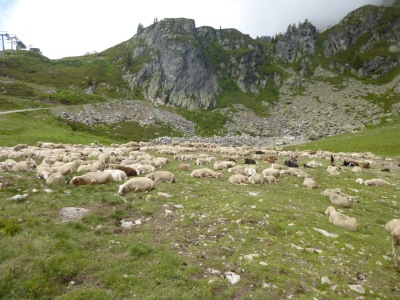 Sheep just chilling in their alpine meadow!