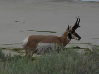 Wild Antelope on the island named after them