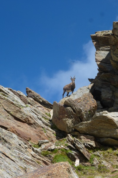 So many ibex en route, we lost count