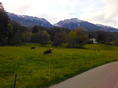 An alpine meadow with cows grazing. It's amazing how happy it can make you feel...